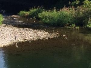 河原に佇むアオサギ