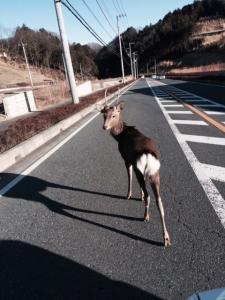 車道を堂々と歩く鹿