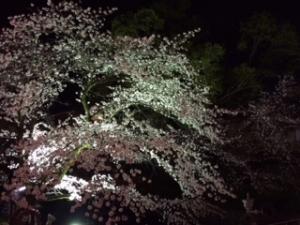羽村市の夜桜