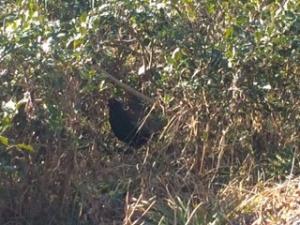 茶畑の中にいる雉