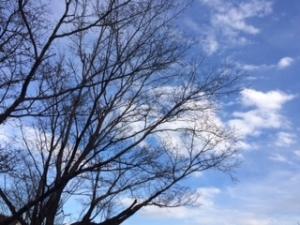 春を待つ桜の木