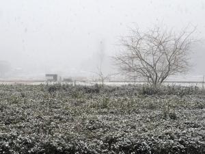 雪を覆った茶畑の画像
