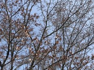 2018年の桜の開花