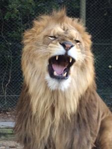 群馬サファリパーク ライオンの雄叫び