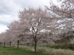 曇り空の桜並木