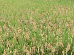 黄金に輝く稲