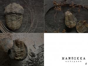 モロッコ産の三葉虫の化石