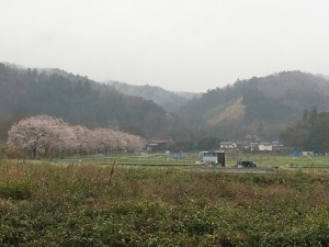 雨の日の桜並木