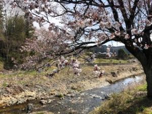 今日の桜の木の様子