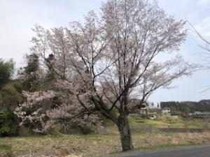 4月7日の桜の様子