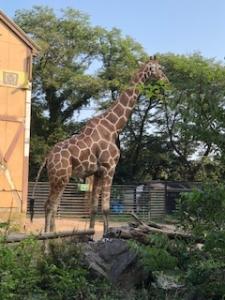 羽村市動物公園のキリン
