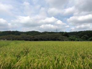稲の広がる風景