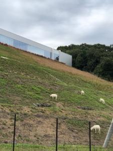 山羊の群れ