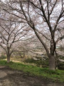 河原沿いの桜並木