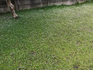 庭のクラピアの様子